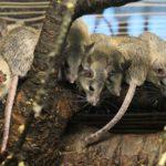 muizenplaag in huis