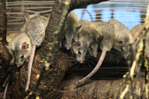 Hoe voorkom je een muizenplaag in huis?