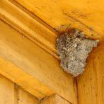 Waarom zitten wespen vaak onder dakpannen