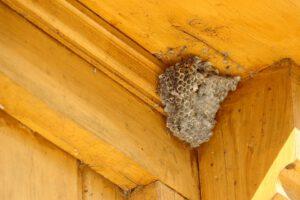 Waarom zitten wespen vaak onder dakpannen?
